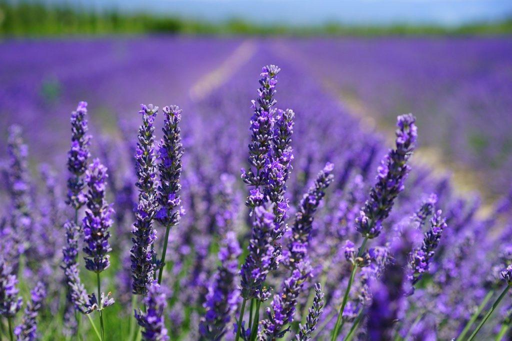 lavender blossom, lilac blue, lavender field